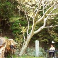 「さくらマイナー」 『近野 桜 夢物語』 野中の秀衡(ひでひら)桜。
