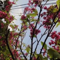 春いちばん…沖縄桜
