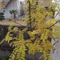 山椒の黄葉