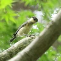 ヤマガラとシジュウカラ幼鳥