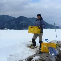 大寒かな 雪の野に立つ 白菜男 (菜人)