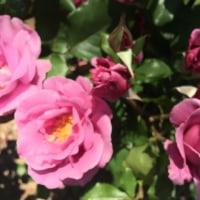 グリーンパーク薔薇まつり
