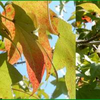 アメリカフウ秋風景