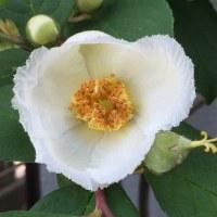 白いトレパンの花