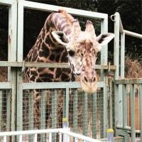 平川動物公園のマサイキリン~鹿児島旅行12