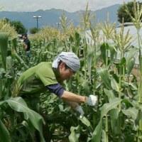 甘々娘(スイートコーン) 栽培体験収穫2