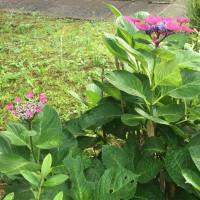 オサンポ walk - 紫陽花来たる5 hydrangeas in season