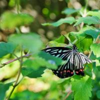 外来種の蝶「アカボシゴマダラ」