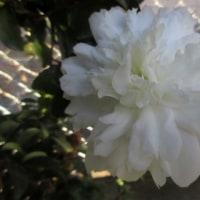 庭の花 170118