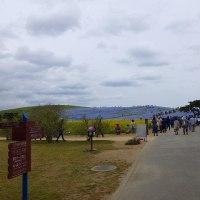 ひたち海浜公園のネモフィラとチューリップ