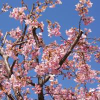青空 と 河津桜