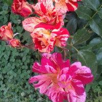 えっ、これもバラ!?という、珍しいバラの写真です!!