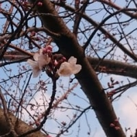 桜がうふふ