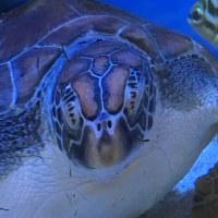 オサンポ walk - 海亀と向き合う I face the sea turtle