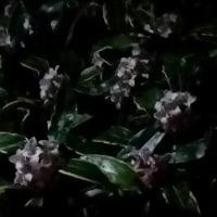 夜の沈丁花