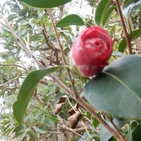 淡いピンクの花を付けた椿が見頃になりました)^o^(