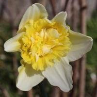 西洋水仙やムスカリも咲き出した