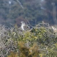 木の上で休む、頭の黒い大陸型チュウヒ。