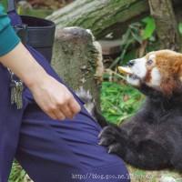 もっと… レッサーパンダ