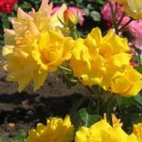 楽書き雑記「名古屋・鶴舞公園のバラも満開です。気になる次の主役、ハナショウブの状態は?」