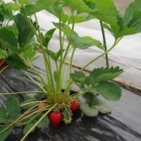 そろそろ収穫-ソラマメとイチゴ