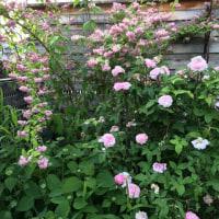 今日の お庭のお花