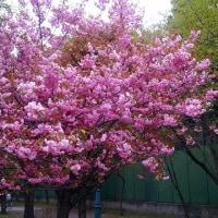 八重桜も満開です