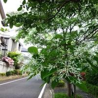 ヒトツバタゴが白い花を咲かせています