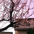 Mucha flor de albaricoquero han florecido