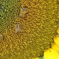 ひまわり畑の迷路…平和祈念公園に7000本のヒマワリ