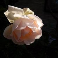 晩秋の薔薇