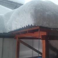 福寿草!雪の中でも元気に❗