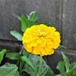 ヒャクニチソウの花