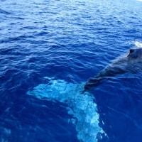 沖縄 ザトウクジラ撮影会