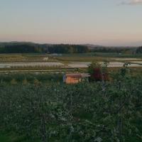 りんご畑の花は終わり・・・