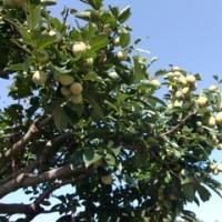 柿が沢山~表年です!