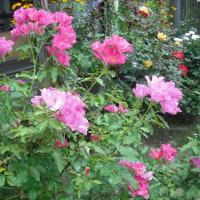 二番花咲いてます バラのプレイガール