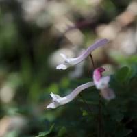 2月の花 ジボロウエンゴサク
