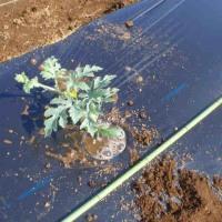 第一弾 スイカを定植しました