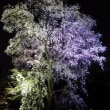 六義園のしだれ桜 -- ライトアップ