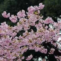 東京都千代田区の皇居東御苑では、カワヅザクラの木の花がたくさん咲いています
