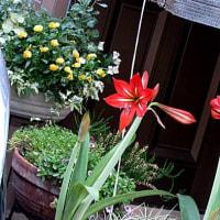 アマリリスという花