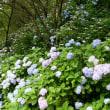 アジサイも咲き始め、暑さを和らいでくれます。