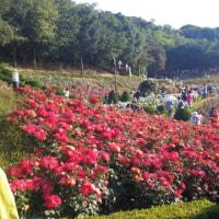 韓国はバラの季節ですよ