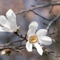 辛夷の花咲く頃(Ⅳ)