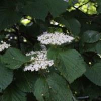ガマズミ(レンプクソウ科・ガマズミ属)落葉低木