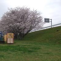 お花見(袋井市深見 かわせみ公園)