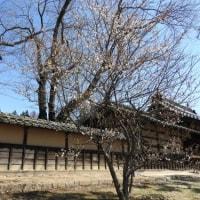 馬場屋敷の梅の花