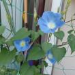 孫の部屋の窓に咲いた朝顔!