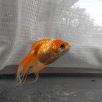 金魚のこと